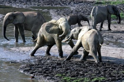 As poachers target the older matriarchs for their large tusks, a generation of young, orphaned African elephants is growing up without guidance. The consequences can be deadly. During Tanzania's drought of 1993, matriarchs that endured a similar event decades earlier knew where to lead their herds for food and water. Groups with matriarchs too young to remember the previous drought lost more than half of their calves that year.