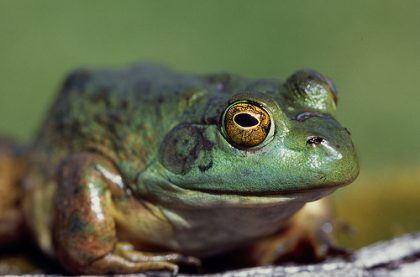 Bullfrogs and amphibians are especially vulnerable to agrochemicals because they live in both water and on land at different life stages. (Photo by Lynn Ketchum.)