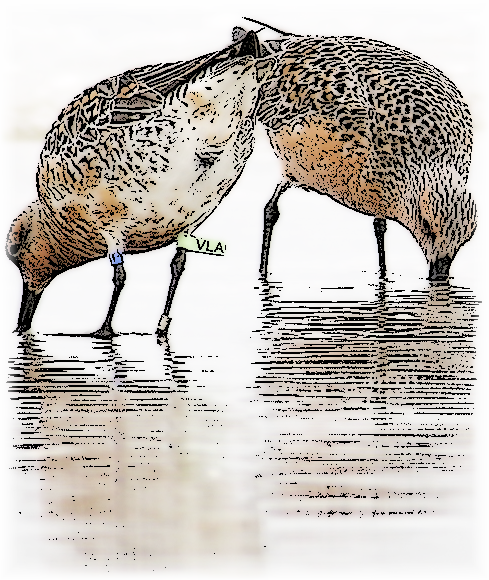 Audubon Invites Beach Lovers to Track Banded Red Knots