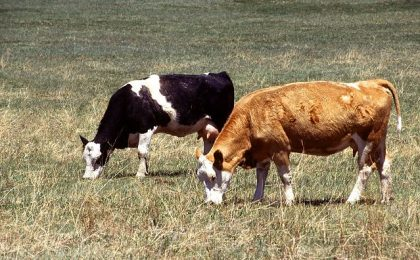 GHG mitigation from cows is needed
