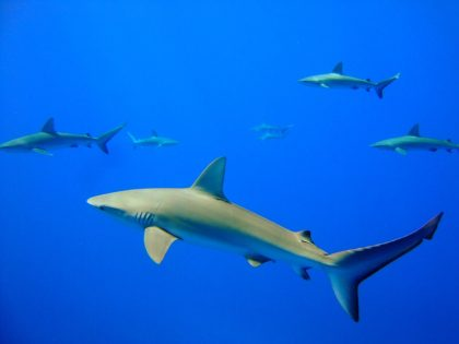 Galapagos sharks near Kure Atoll. NOAA Photo by Mark Manuel.