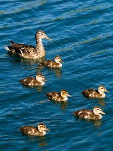 Ducks unlimited Canada, national wetland conservation fund, Celebrating ducks wetlands