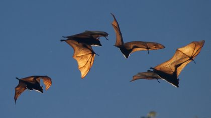 Also, other insect-eating creatures like bats are affected by the declining of insect populations that can make a serious disbalance in our ecosystem. According to a study conducted in 2016, bats are also on a decline since these insectivores don't have enough food. Along with bats, many bird species rely on insects as food, almost 60% of all birds out there and unsurprisingly, there are almost 40% fewer birds species now than there were 40 years ago.
