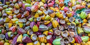 Agricultural waste made into food Packaging. ensia-feature-ag-waste-cacao-main-920x458